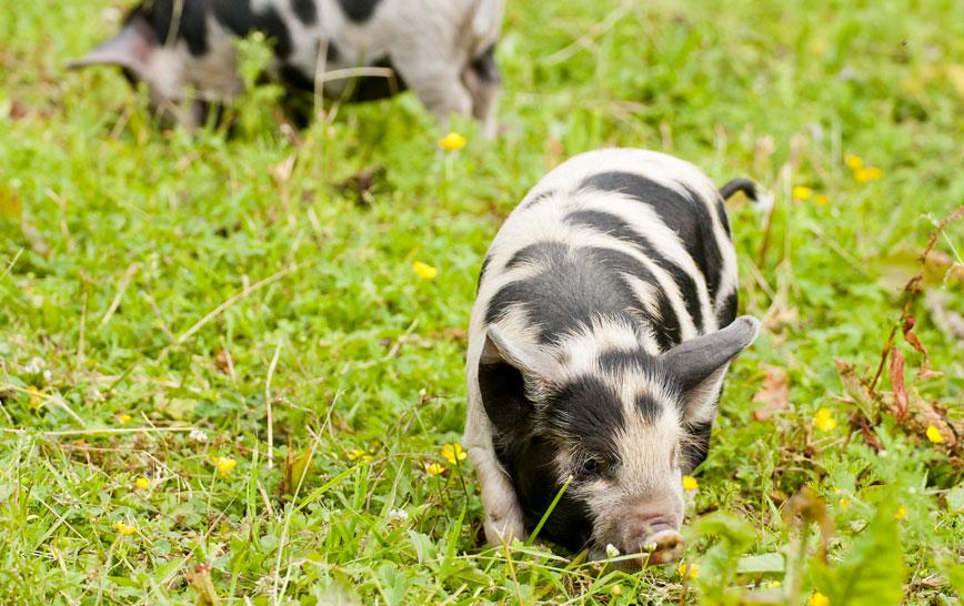 Free range Pork pigcare